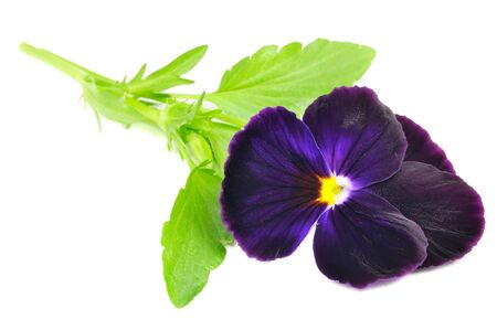 Purple Pansy Violet Flower Isolated on White Background photo