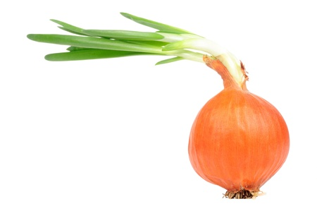 Sprouted Onion Bulb with Roots Isolated on White Background photo