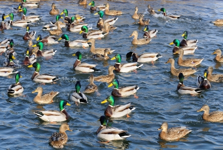 drakes: Flock of Mallard Ducks and Drakes Swimming in the Lake