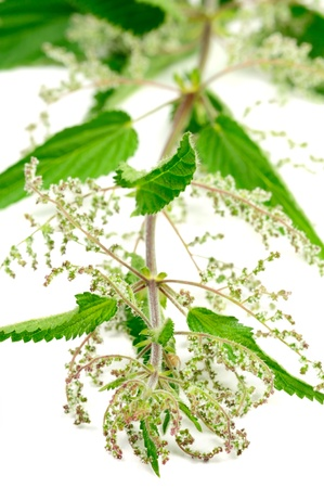 stinging nettle: Stinging Nettle (Urtica Dioica)