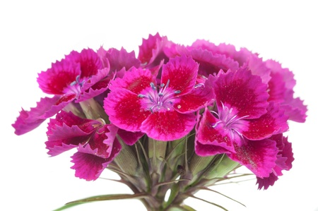 william: Pink Sweet William (Dianthus Barbatus) Flowers on White Background Stock Photo