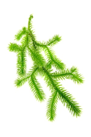 Club Moss (Lycopodium Clavatum) Branch Isolated on White Background