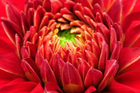 flower close up: Beautiful Red Dahlia Close-up