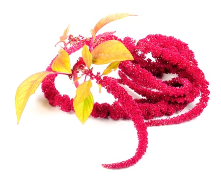 Amaranth (Love-Lies-Bleeding) Flowers Isolated on White Background photo
