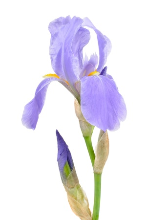 iris fiore: Bandiera Blu Iris fiore con germogli su sfondo bianco