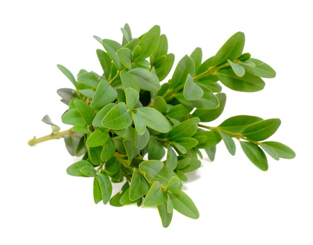boxwood: Boxwood  Box  Branches with Green Leaves Isolated on White Background