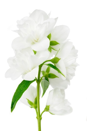 philadelphus: Beautiful Jasmine Flowers on White Background