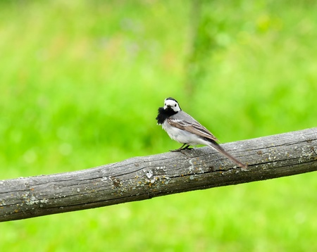 White Wagtail Bird Sitting on Perch photo