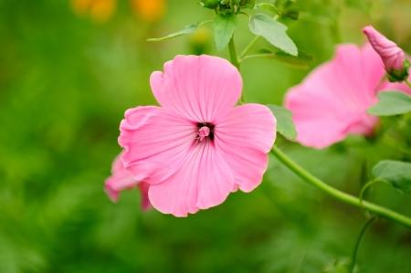musk: Pink Malva Moschata (Musk-Mallow) Flowers on Flower Bed Stock Photo