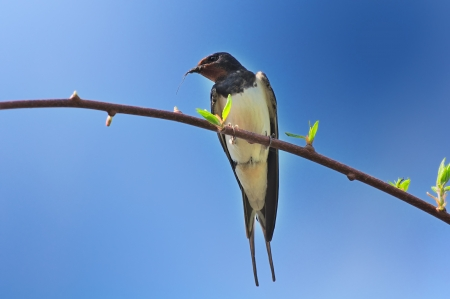 Spring Swallow Sitting on Tree Branch Stock Photo - 15359138