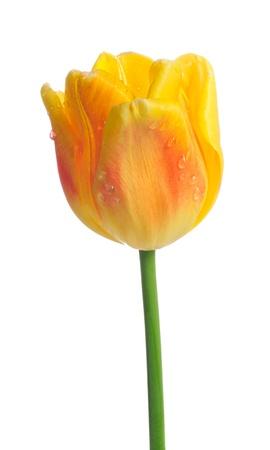 Belle tulipe jaune avec des gouttes de rosée sur fond blanc Banque d'images - 15359137