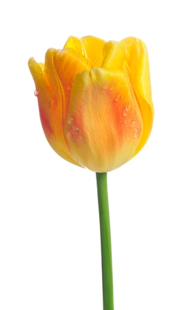Beautiful Yellow Tulip with Dew Drops on White Background