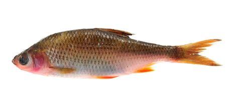 fischerei: Kranke Roach Fish (Rutilus Rutilus) auf weißem Hintergrund Lizenzfreie Bilder