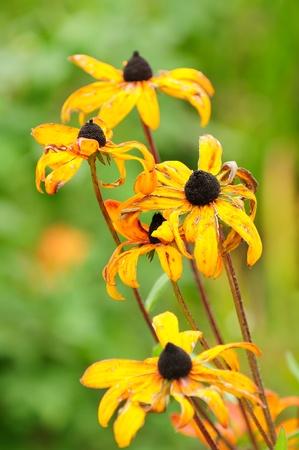 flores secas: Fading Autumn Flowers Foto de archivo