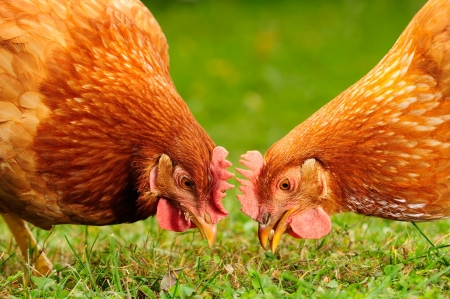 Domestic Chickens Eating Grains and Grass Stockfoto