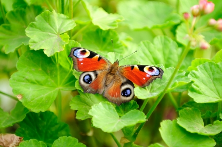 inachis: Peacock Butterfly on Green Pelargonium Leaves
