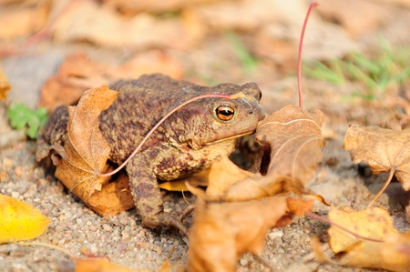 bufo toad: Common Toad (Bufo Bufo)