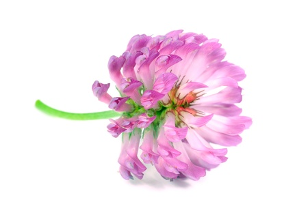 Red Clover Flower Close-Up Isolated on White Background photo