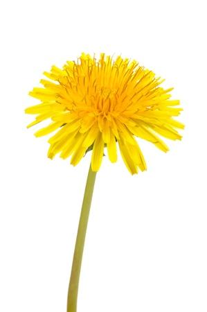 白い背景に黄色のタンポポ (セイヨウタンポポ) 花