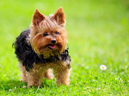 Cute Yorkshire Terrier Dog Playing in the Yard photo