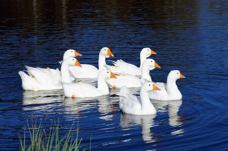 Gaggle of White Domestic Geese Swimming in Pond photo
