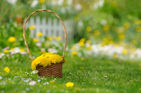 Basket of Yellow Dandelion Flowers in the Garden photo