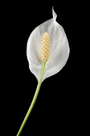 spadix: Beautiful White Spathiphyllum  Peace Lily  Flower on Black Background Stock Photo