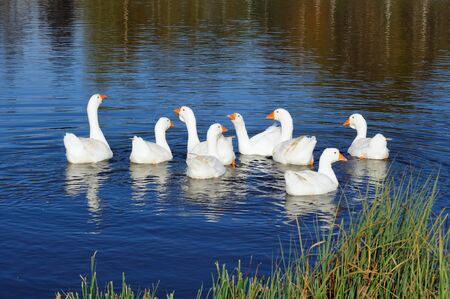 Gaggle of Domestic Geese Swimming in Pond photo