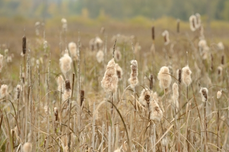 bullrush: Dry Cattail (Typha Latifolia, Reedmace or Bulrush) Spikes with Fluff