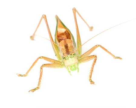 Grasshopper Close-Up Isolated on White Background Stock Photo - 16015629