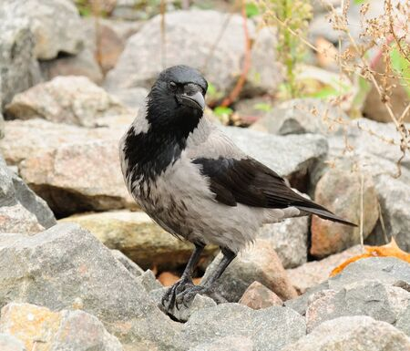 Hooded Crow on Stones Stock Photo - 16015561
