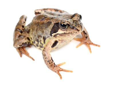 anura: Brown Grass Frog Isolated on White Background Stock Photo