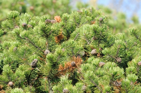 bushy: Bushy Pine Trees with Cones in Forest