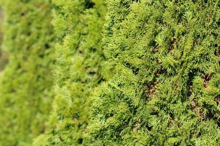Green Hedge of Thuja Trees photo