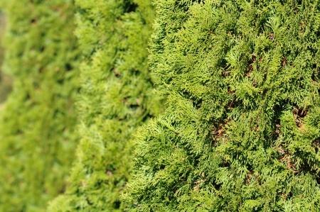 thuja: Green Hedge of Thuja Trees Stock Photo