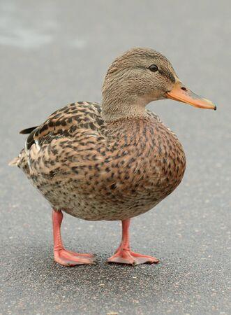 Mallard Duck on Asphalt Road Stock Photo - 16015449