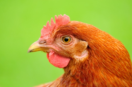 Red Chicken in Profile on Bright Green Background photo