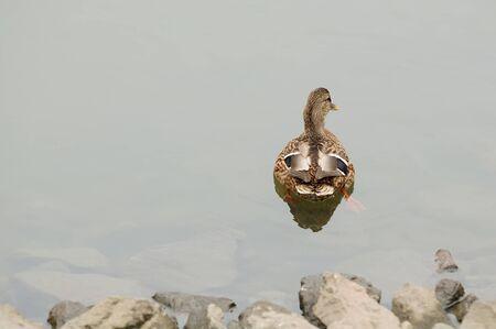 Mallard Duck Swimming Away from the Shore Stock Photo - 16015581
