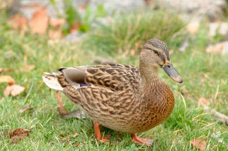 Mallard Duck Walking on the Grass Stock Photo - 16015460