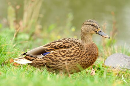 Mallard Duck Close-Up (Full Length Side View) Stock Photo - 16015457