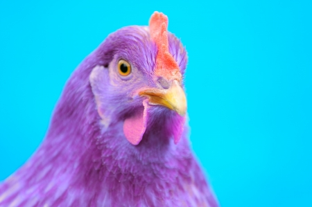 extraordinary: Purple Chicken on Blue Background Stock Photo