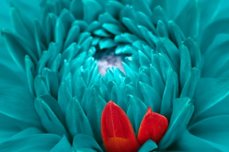 Turquoise Fantasy Dahlia and Red Petals Close-Up Stock Photo - 16213032