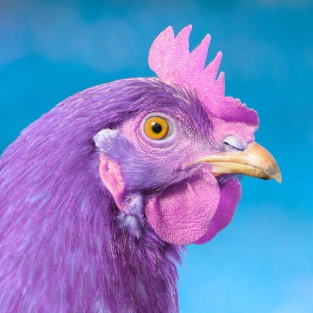 Purple Chicken with Pink Comb and Wattle on Blue Background Stock Photo - 16213047