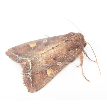 Bright-Line Brown-Eye Moth (Night Fly) Isolated on White Background Stock Photo - 16356706