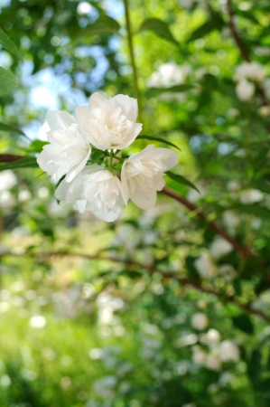 philadelphus: White Jasmine Flowers on Shrub Stock Photo