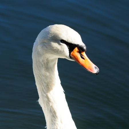 Graceful White Swan Swimming in the Lake Stock Photo - 17006451