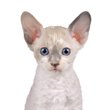 cornish: Cute Little White Cornish Rex Kitten with Blue Eyes Looking at Camera