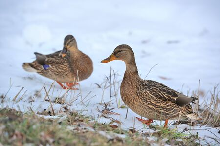 Mallard Ducks Walking on Snow photo