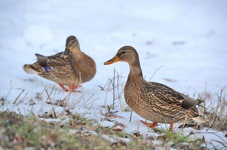 Mallard Ducks Walking on Snow Stock Photo - 17115159
