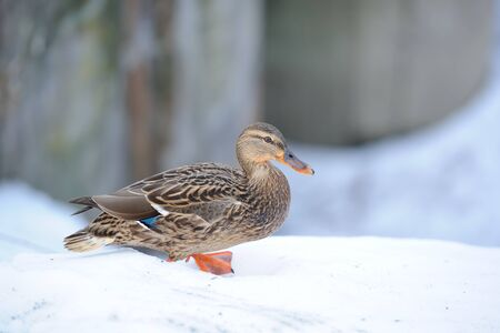 Mallard Duck Walking on Snow in Winter Stock Photo - 17115158